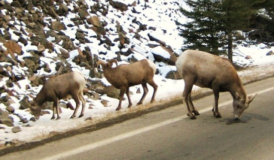 Big Horn Sheep in Big Sky Country