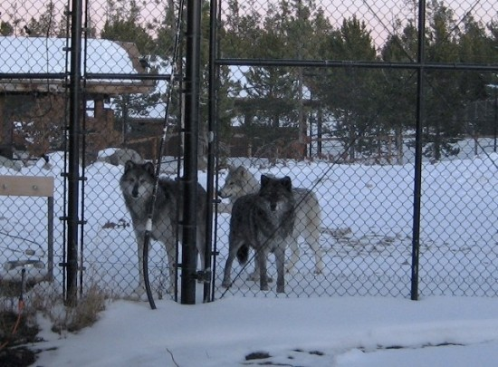 The wolves can be heard howling every night, just blocks from our hotel.